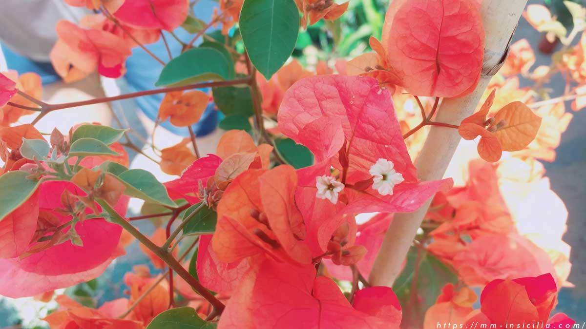 オレンジ色のブーゲンビリア