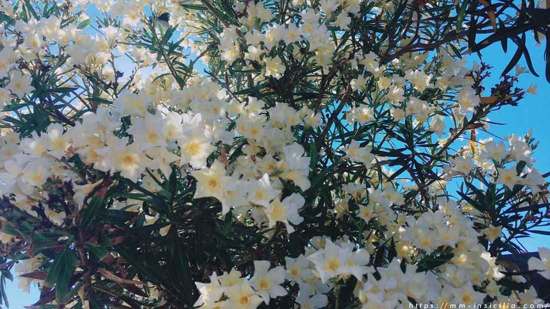 シチリアでみかけた白いオレアンドロの花